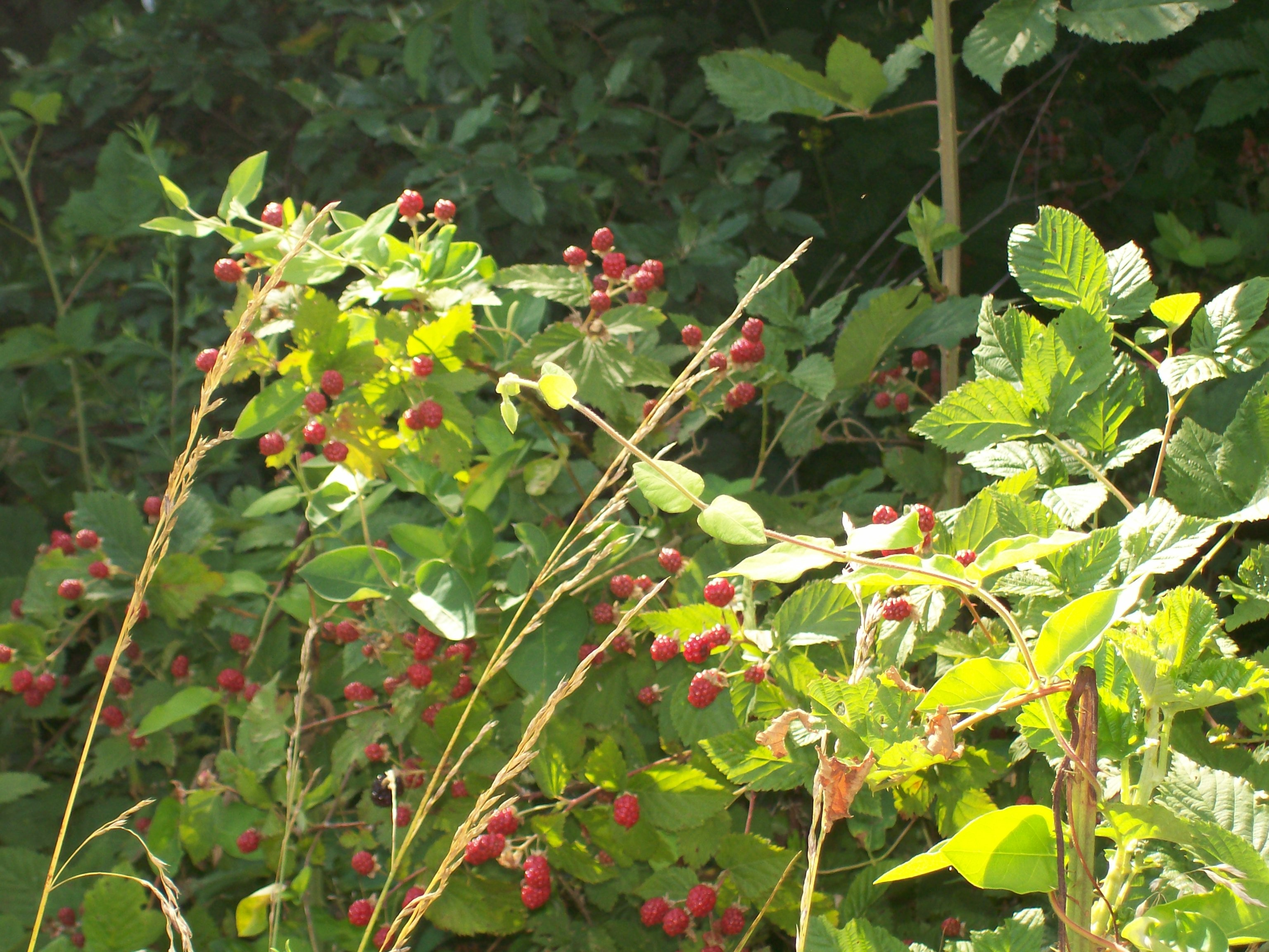 wildblackberries1.jpg