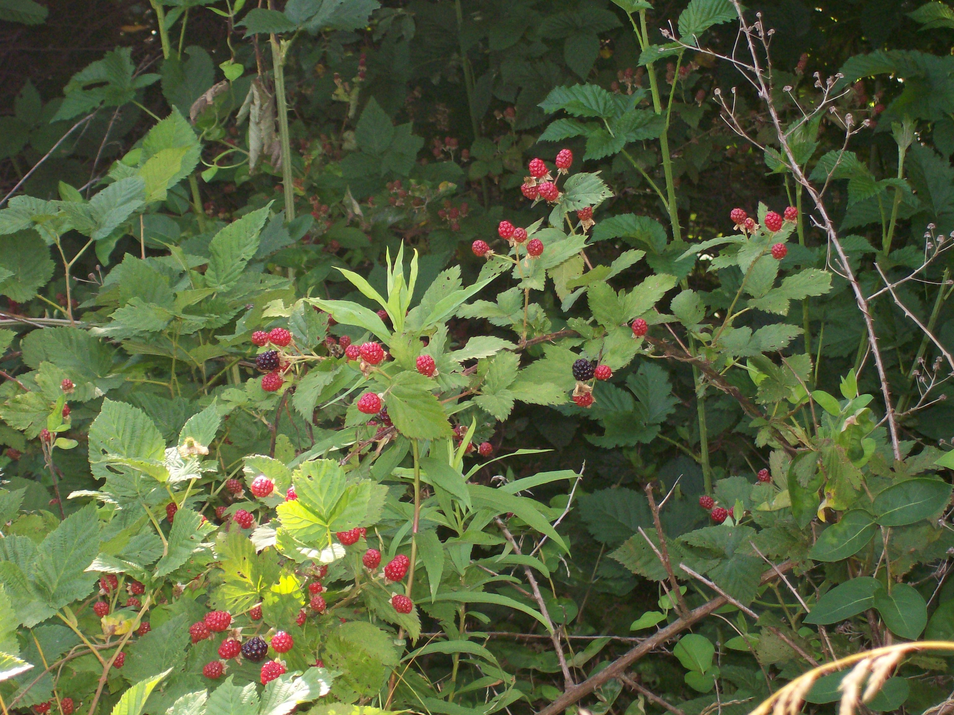 wildblackberries2.jpg